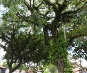 Cidade poderá ter código de arborização